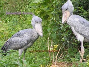 Shoebill Stork - Bird Power Point Information Pictures