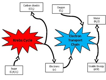 Simplified Respiration