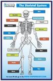 Skeletal System 11X17 Poster