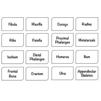 Skeletal System: Bones