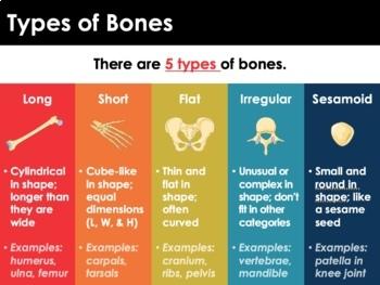 Skeletal System - Bones, Bone Structure, Joints, Disorders (Advanced)