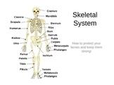 Skeletal System (Bones) Powerpoint
