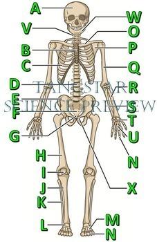 skeletal system crossword with diagram {editable} Circulatory System Crossword Puzzle skeletal system crossword with diagram {editable}