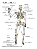 Skeletal System Diagrams for Labeling, With Reference Information and Charts