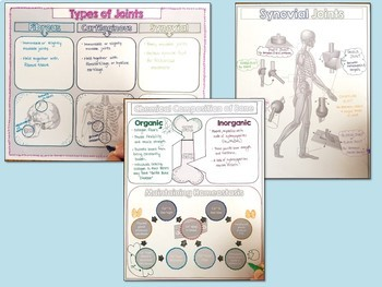 Skeletal System- Editable PowerPoint & Doodle Notes