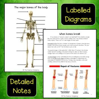 Skeletal System Interactive Notebook