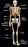 Skeletal System Muscular System Review