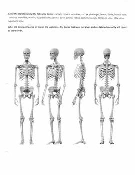 Skeleton Diagram Quiz