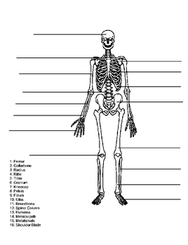 Skeleton Quiz Test. Name the bones of the skeletal system. Answer key.