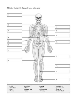 skeletal system worksheet - Skeletal System Worksheet