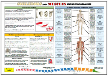 Skeletons and Muscles Knowledge Organizer/ Revision Mat!
