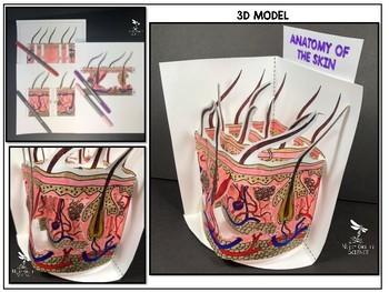 Skin Anatomy Model - 3D