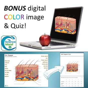 Skin Diagrams And Quiz By Science Island Teachers Pay Teachers