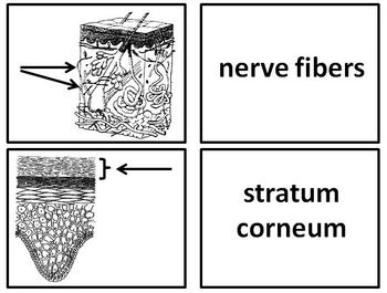 Skin Flashcards for the Integumentary System Vocabulary Practice