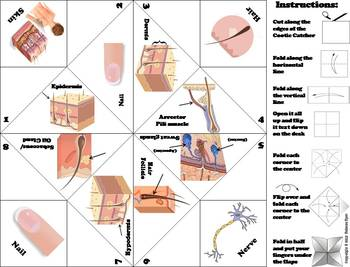 Skin/ Integumentary System Activity/ Foldable (Human Body Systems Review)