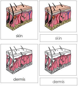 Skin Nomenclature Cards