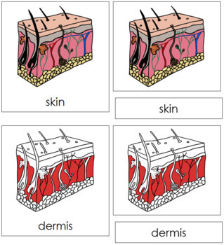 Skin Nomenclature Cards (Red)