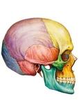 Skull - Anatomy worksheets