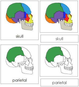 Skull Nomenclature Cards