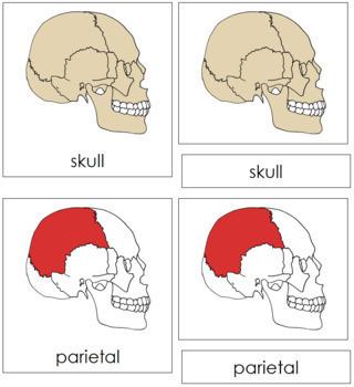 Skull Nomenclature Cards (Red)
