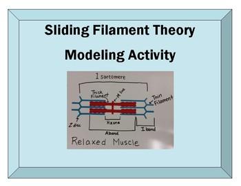 Sliding Filament Modeling Activity