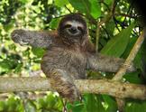 Sloth Virtual Lesson