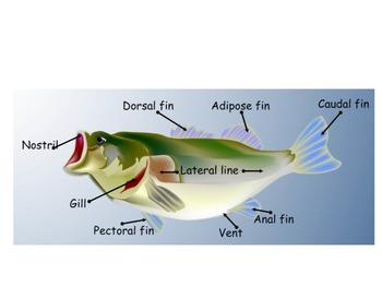 Science SmartBoard - Salmon life cycle
