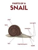 Snail Nomenclature Cards (3 Part Montessori Cards plus more!)