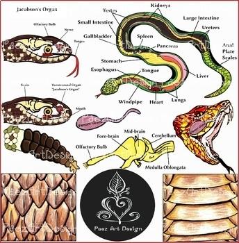 Snake Anatomy Clipart {Paez Art Design}
