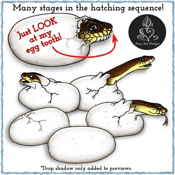 Snake Egg Birth CLIPART - Oviparous Egyptian Cobra