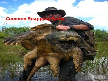 Snapping Turtle - Power Point - facts history diet pictures etc.