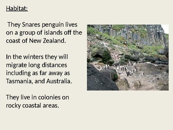 Snares Penguin - Power Point information facts review