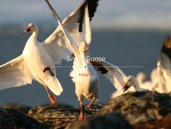 Snow Goose - Power Point - Information History Facts Pictures
