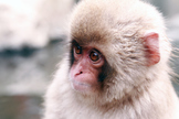 Snow Monkey - Japanese photo