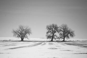 Snow Trees Black and White