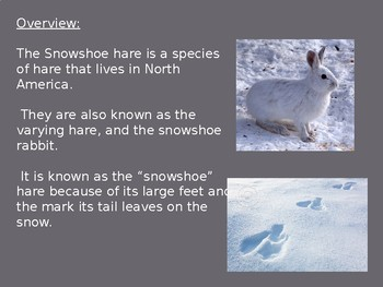 Snowshoe Hare - Rabbit Power Point - Information Facts Pictures