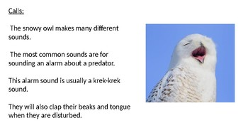 Snowy Owl - Power Point information facts overview pictures