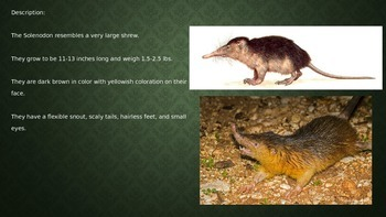 Solenodon - endangered - powerpoint information facts pictures
