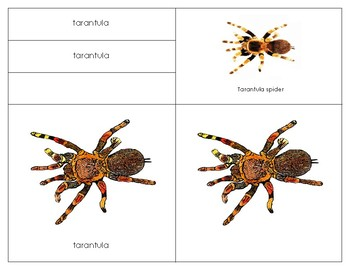 South America: Parts of a Tarantula