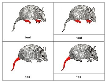 South America: Parts of an Armadillo