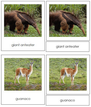 South American Animals: 3-Part Cards