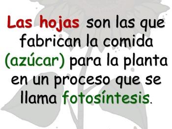 Spanish, Parts of a Plant (Las partes de una planta)