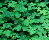 Spanish Saint Patrick's Day article and activities