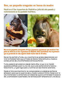 Spanish reading/article on Boo the Orangutan