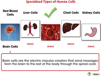 Specialized Types of Human Cells - PC Gr. 3-8