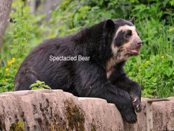 Spectacled Bear - Power Point Facts Information Endangered Pictures