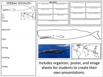 Sperm Whales - Mini Unit