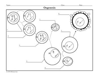 Spermatogenesis and Oogenesis Diagram Activities