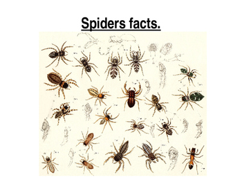 Spider Facts Powerpoint