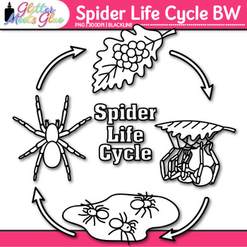 Spider Life Cycle Clip Art   Great for Animal Group, Insect, & Bug Resources B&W